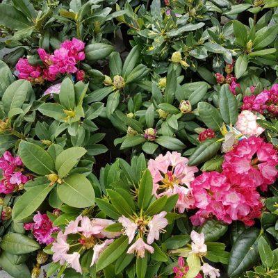 zimnozielone_Rododendron